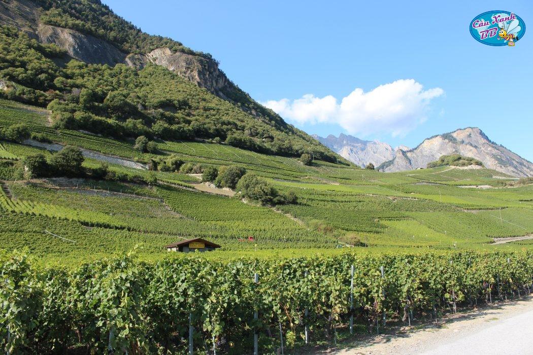 Rượu vang Thụy Sỹ - Những bất ngờ thú vị